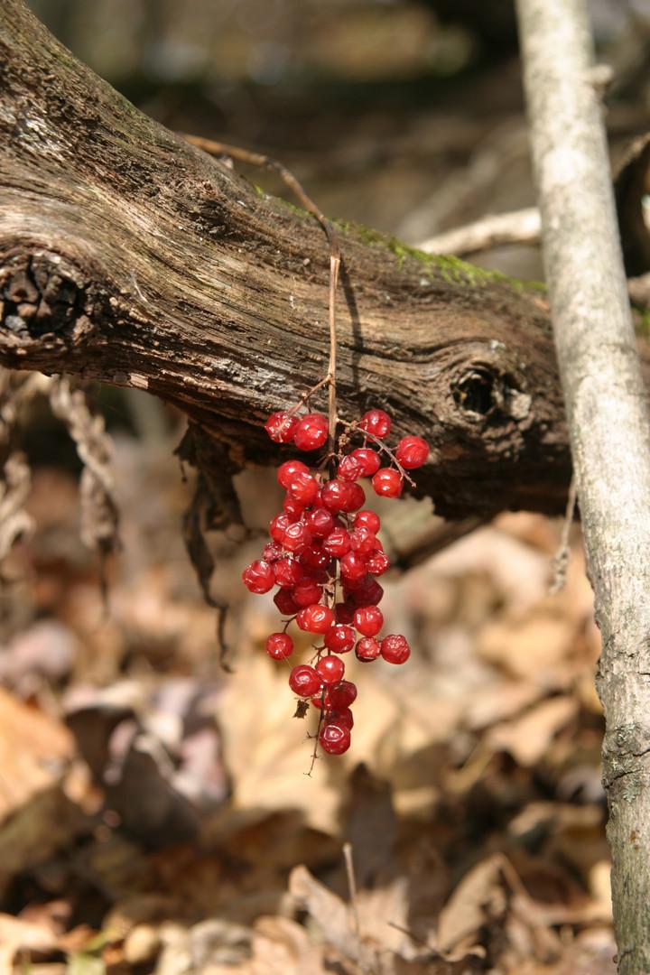 Polygonatum biflorum dried fruit over br