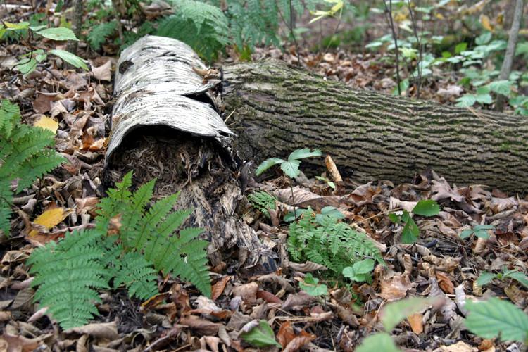 Betula papyrifera rotting log and fenr G