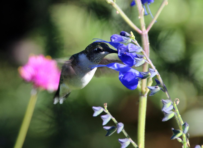 Female Ruby Throat Hummingbird in Salvia