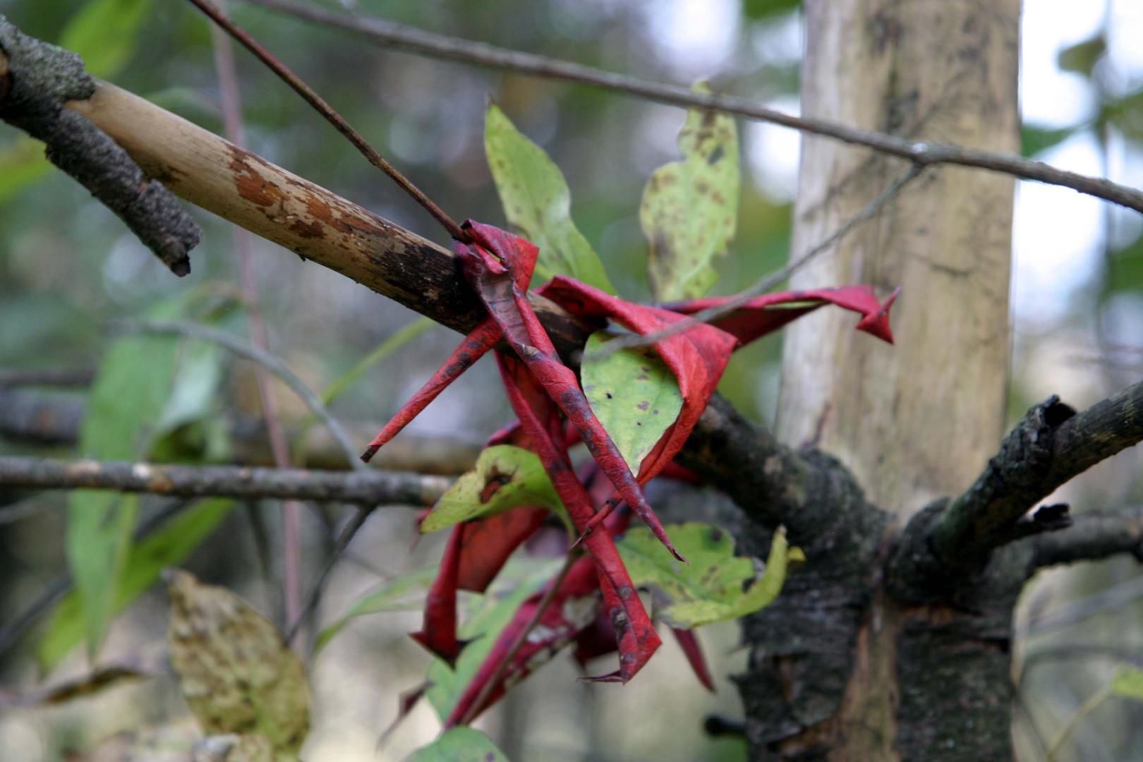 Curled red leaves on branch Gov Dodge SP