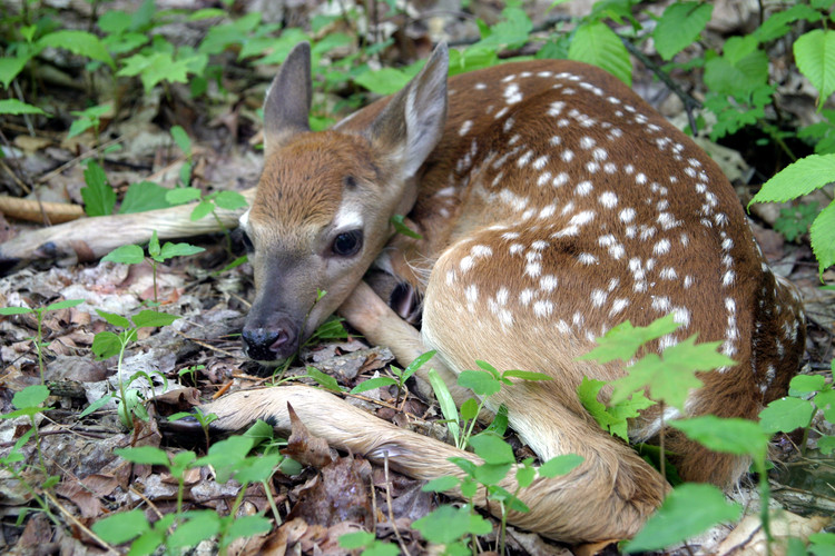 NY06 Whitetail deer fawn curled up.jpg