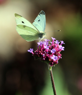 Pieris rapae cabbage white butterfly sit