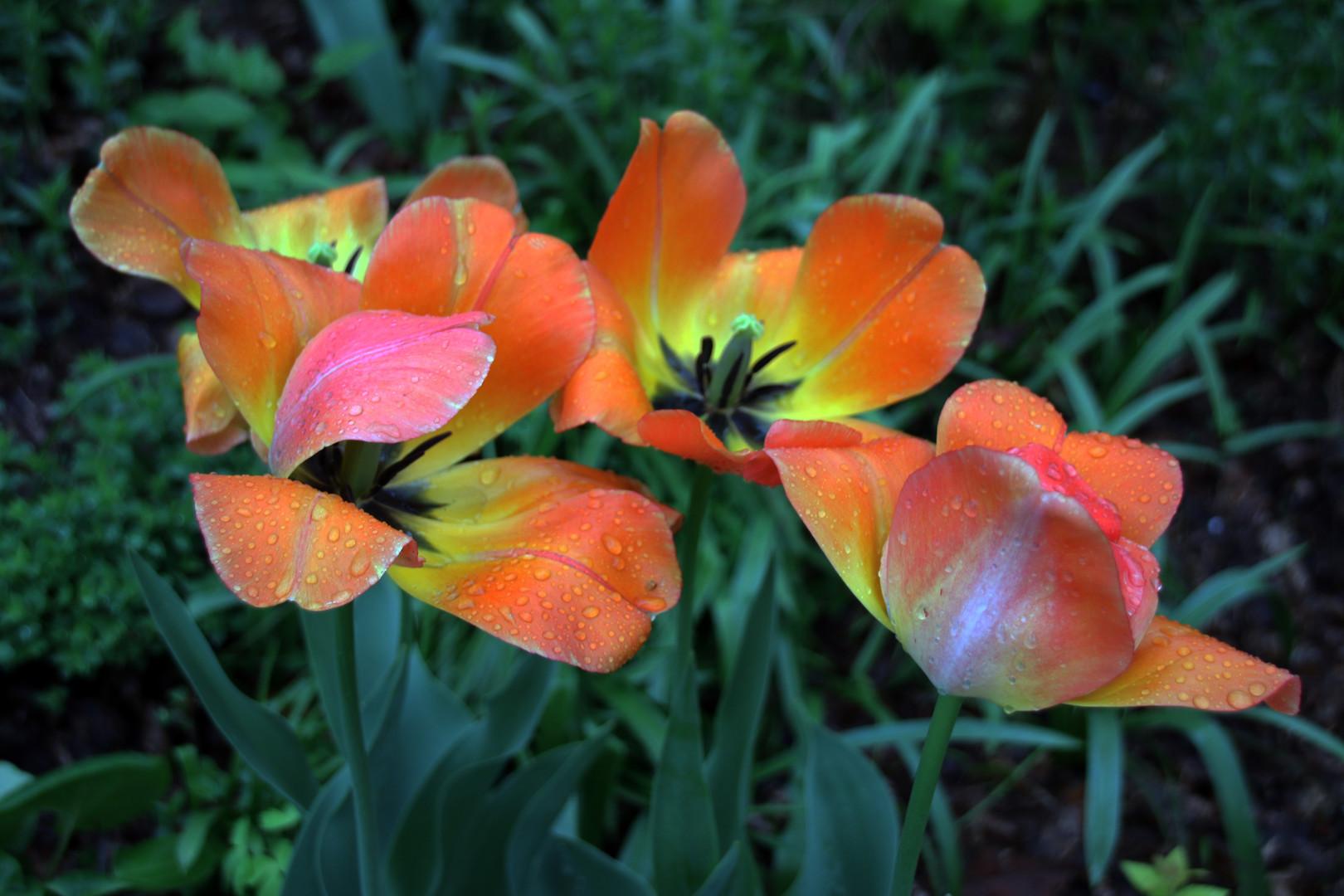 Orange tulips past peak 3 ACG May 13, 20