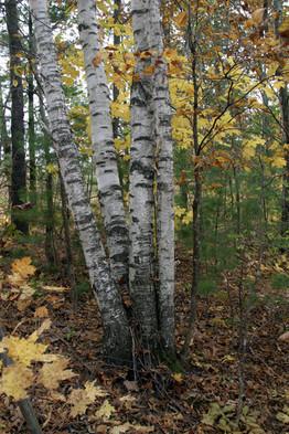 White birch clump of trunks Gov Dodge SP