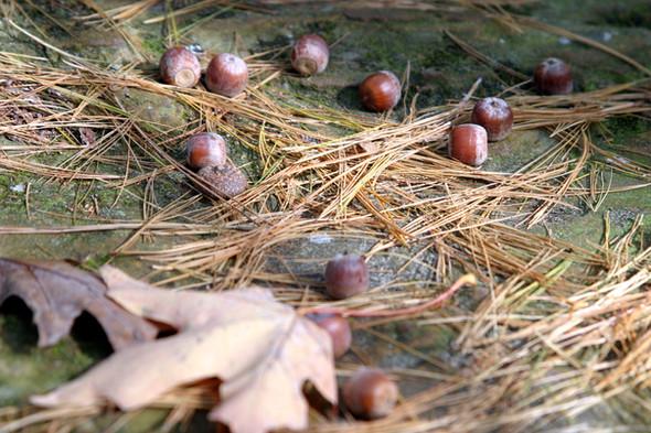 Maple leaf w acorns in focus Gov Dodge S