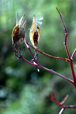 Asclepias incarnata seed pods w seed 06.