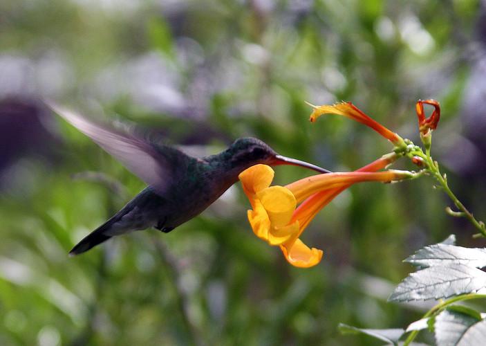 Broad-tailed Hummingbird female flying w