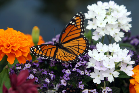 Monarch Butterfly on flowers 2 Cantigny