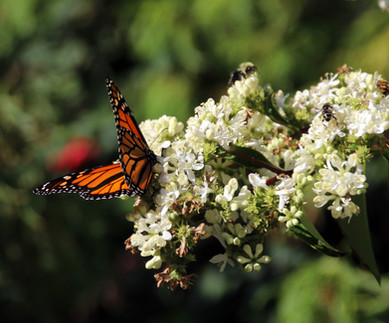 Monarch butterfly on Heptacodium miconio