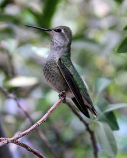 Anna's Hummingbird female 6 Sonora Deser