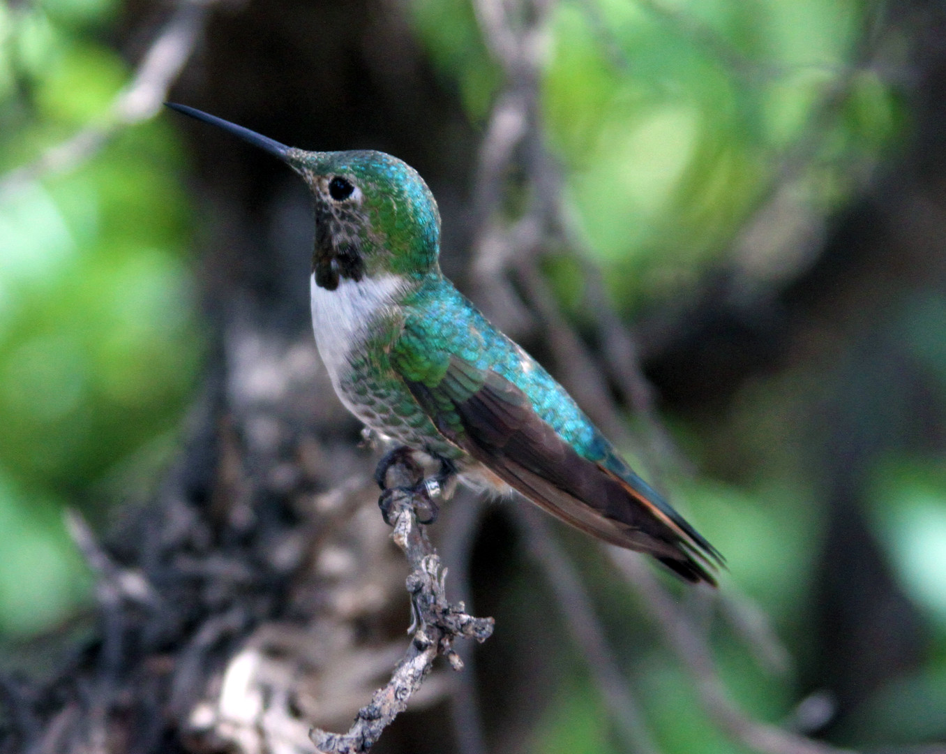 Broad-tailed Hummingbird female 4 Sonora