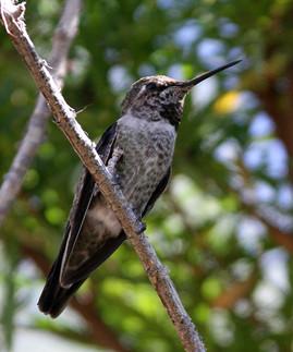 Anna's Hummingbird female 2nd 2 Sonora D