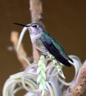 Broad-tailed Hummingbird female 2nd crop