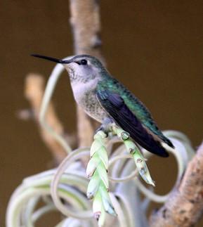 Broad-tailed Hummingbird female 2nd crop