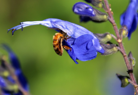 Honeybee in Salvia greggii 'Blue Note' 2