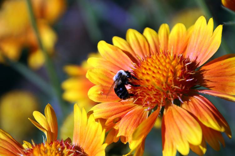 Bee in sunflower ACG Sept 22, 2014.jpg