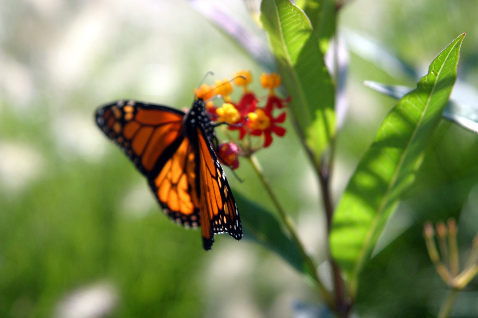 Asclepias curassavica and monarch butter