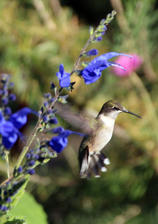 Female Ruby Throat Hummingbird flying 4