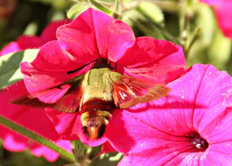 Hummingbird moth hovers inside petunia c