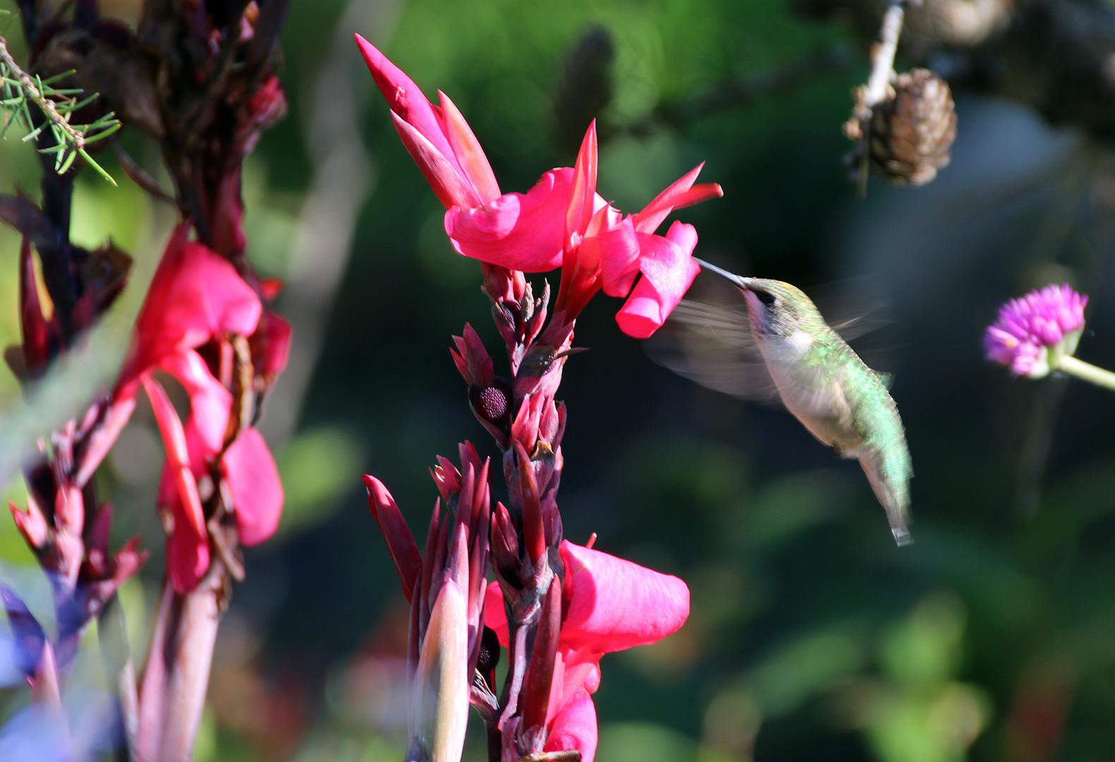 Female Ruby Throat Hummingbird drinking