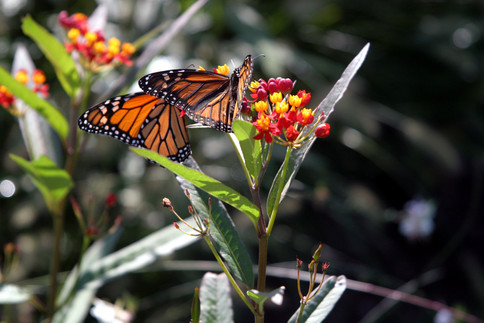 Asclepias curassavica and 2 monarch butt
