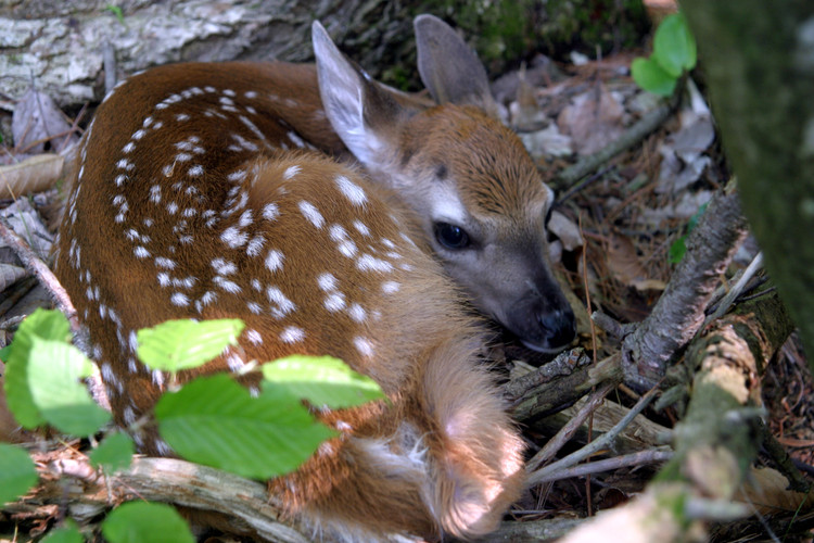 NY06 Whitetail deer fawn curled up from