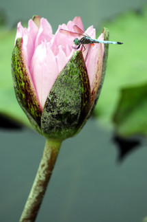 Dragonfly on water lily flower bud close