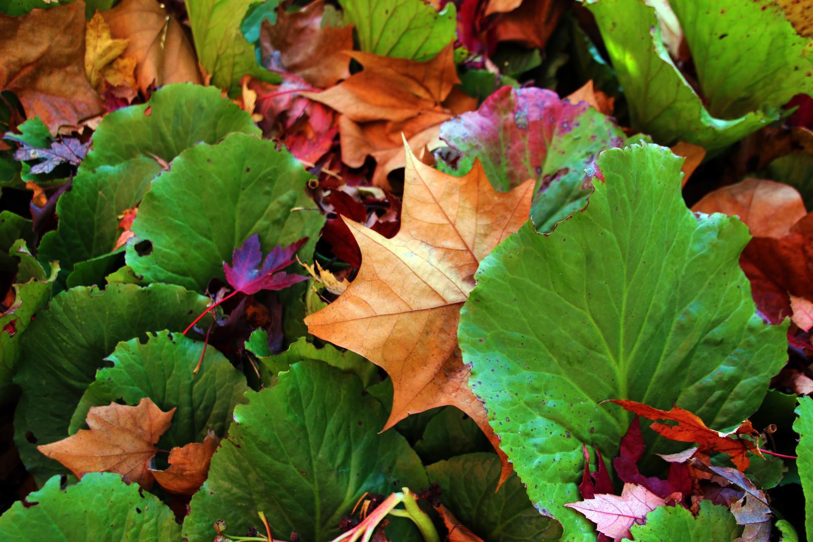 Bergenia cordifolia w autumn foliage Rei