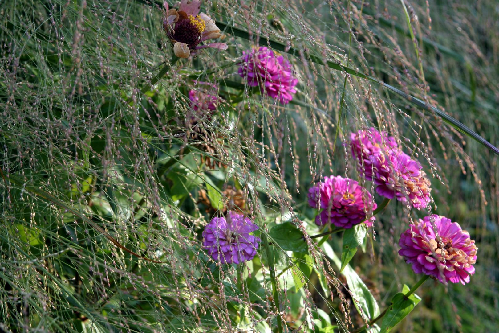 Zinnia flowers thru Miscanthus flowers P