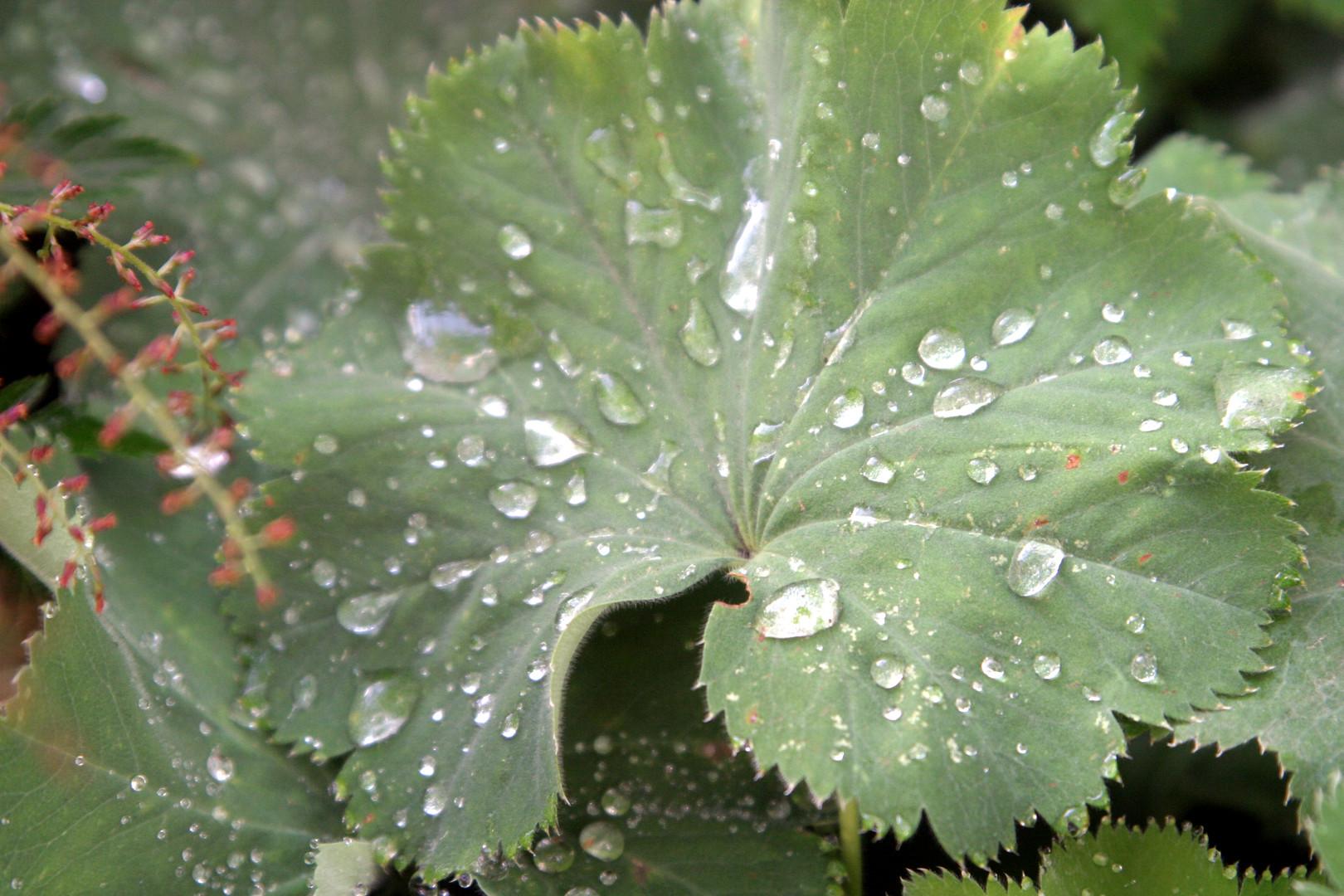 Alchemilla mollis leaf w raindrops Elk R