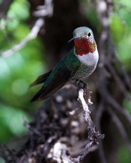 Anna's Hummingbird male 10 Sonora Desert