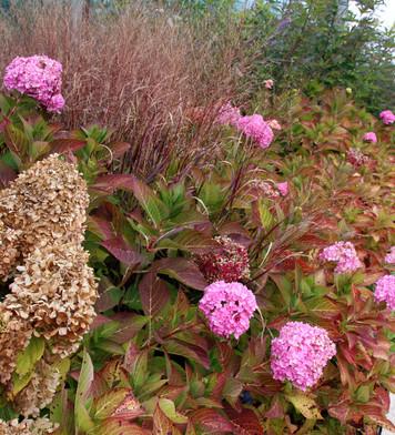 Hydrangea macrophylla 'Endless Summer' w