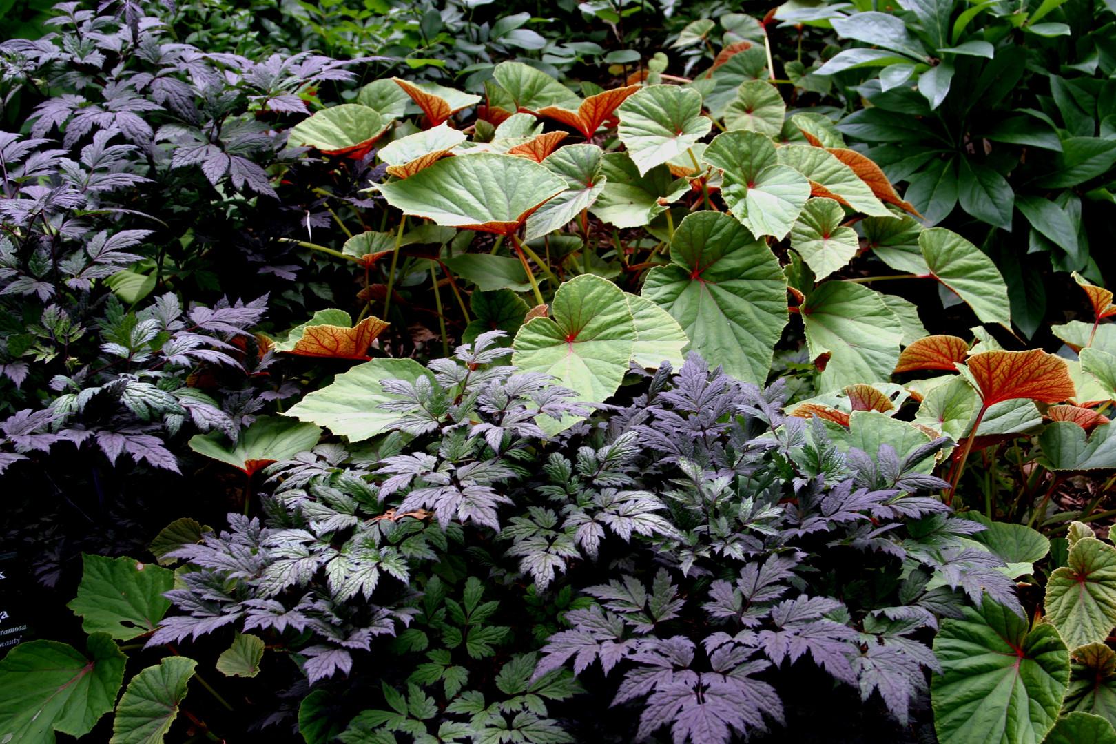 Begonia grandis & Cimicifuga ramosa 'Hil