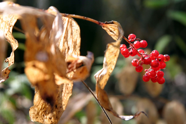 Polygonatum biflorum dried and fruit Gov