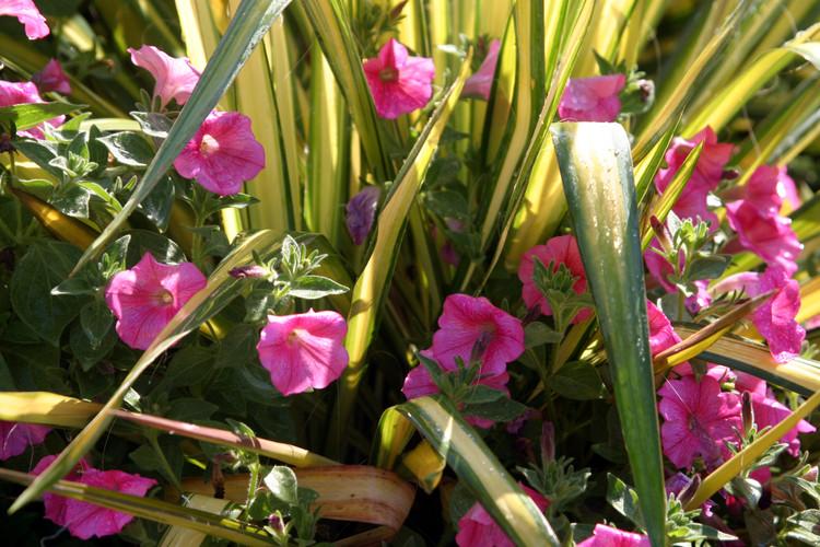 Yucca filamentosa 'Bright Edge' w pink p