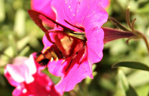 Hummingbird moth in petunia cu Avon Gard