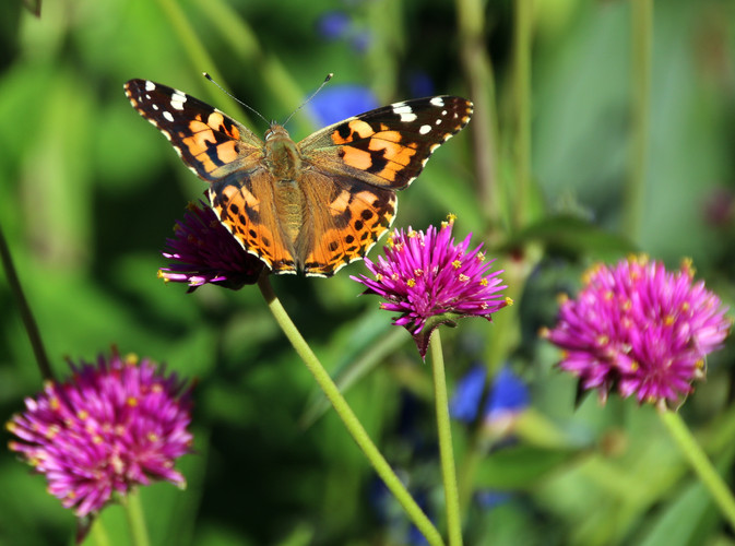 Cynthia cardui Painted Lady Butterfly on