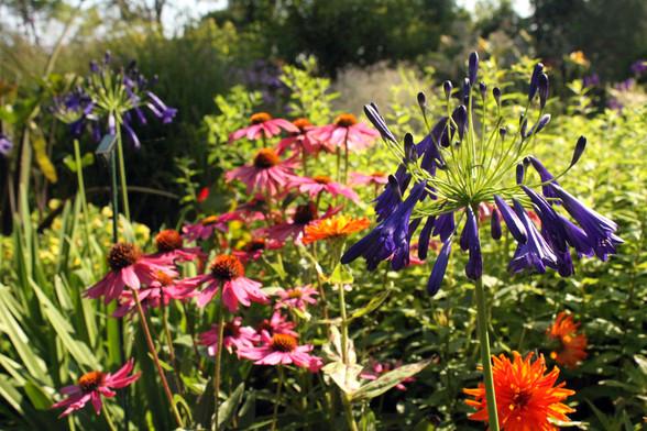 Agapanthus Echinacea & Zinnia flowers Do