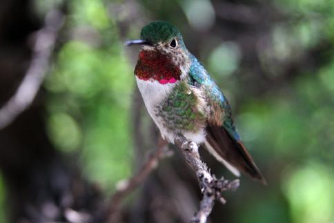 Broad-tailed Hummingbird 3 Sonora Desert