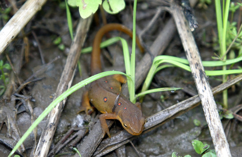 NY06 Red Eft cropped.jpg
