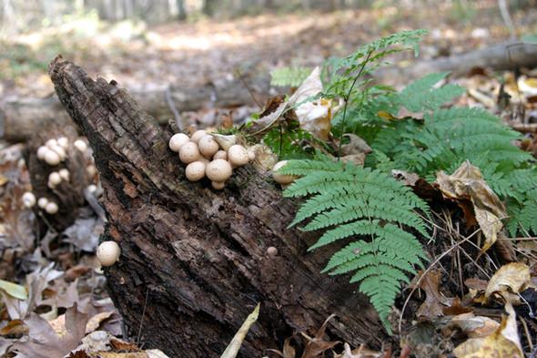 Button mushrooms on log w fern Gov Dodge