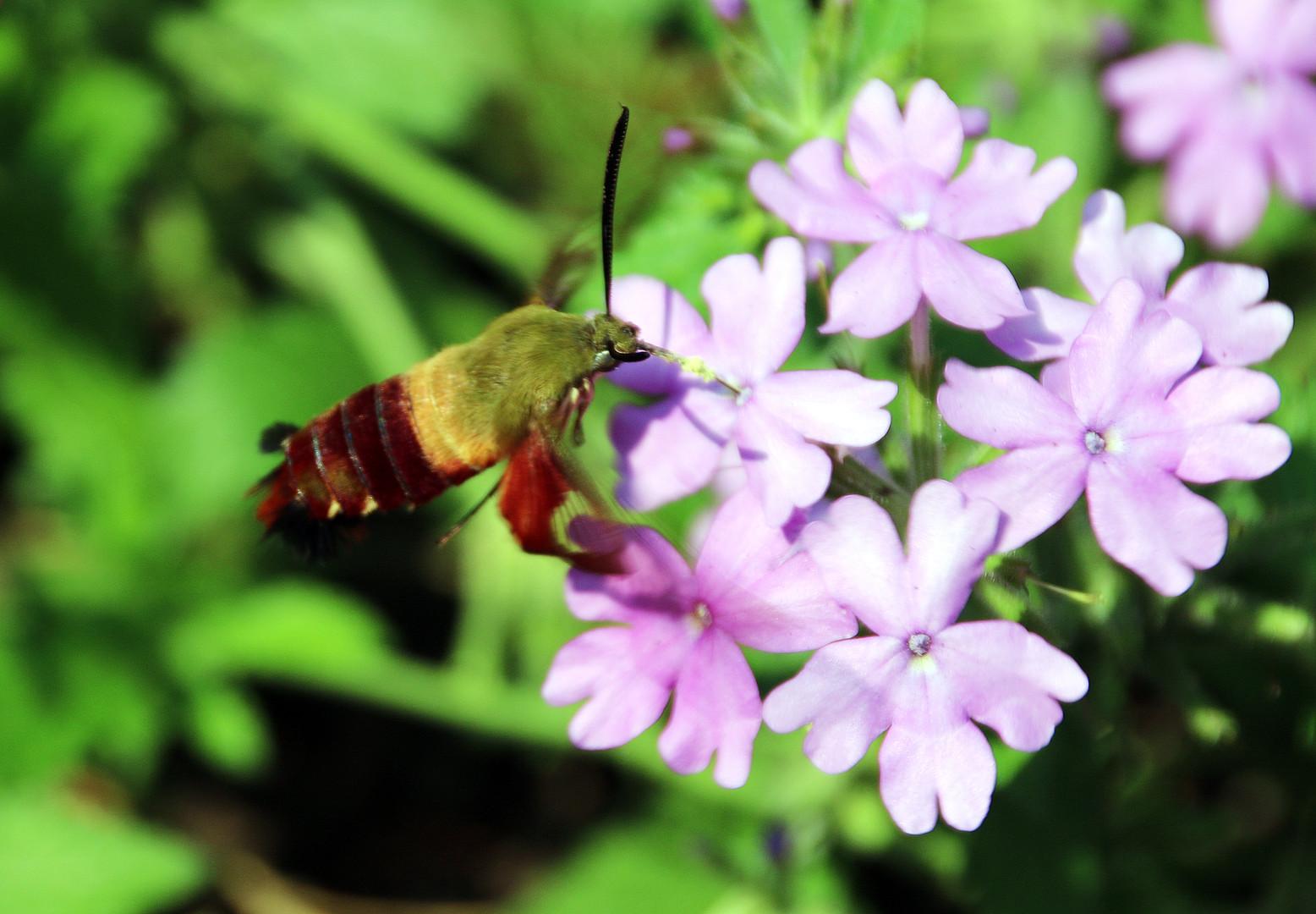 Hummingbird moth 3 Pittsburgh Aug 8, 201