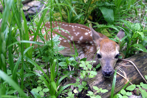 NY06 Whitetail deer fawn head on log 3.j