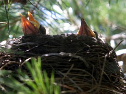 Robin babies ex cu Anderson Gardens '10.