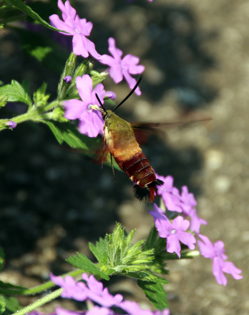 Hummingbird moth 2 Pittsburgh Aug 8, 201