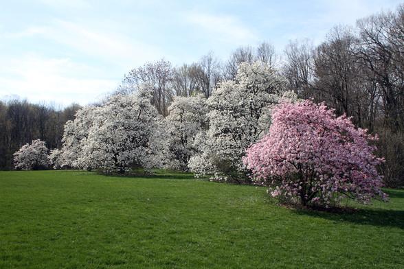 Magnolia hill close Boerner BG May 4, 20