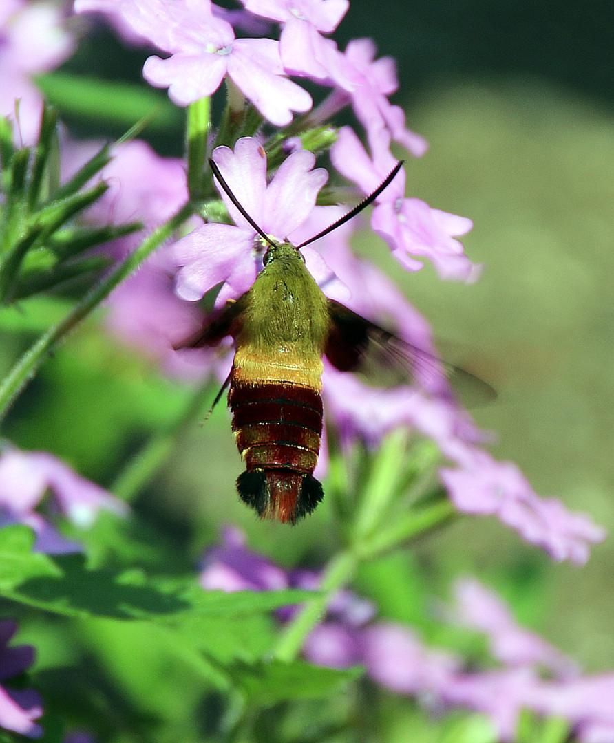 Hummingbird moth 6 Pittsburgh Aug 8, 201