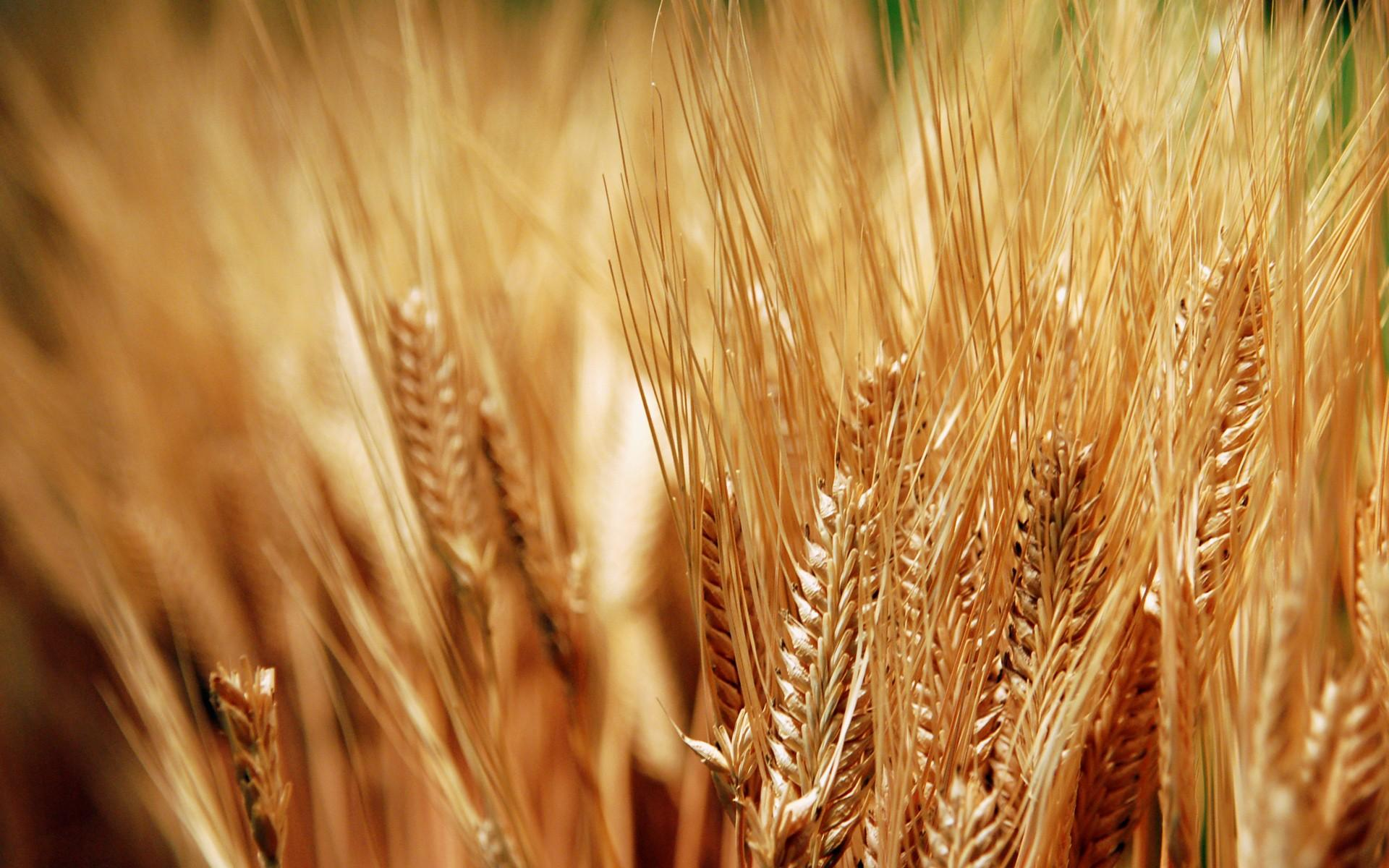 background-wheat-wallpapers-23287