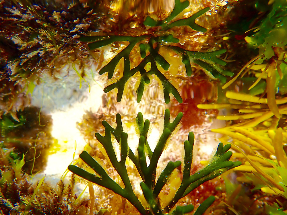 The forest of the ocean is made by seaweed