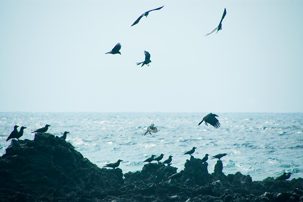 Auf den schwarzen Vulkanfelsen haben sich Raben versammelt, einige lassen sich im Fallwind des Meeres gleiten